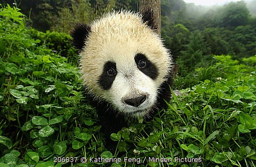 Panda géant.jpg