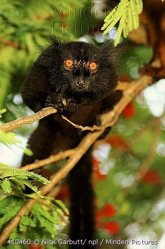 Lémurien noir.jpg