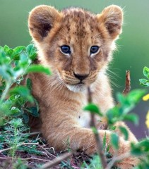 Bébé lion.jpg