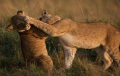 Lions jouent.jpg