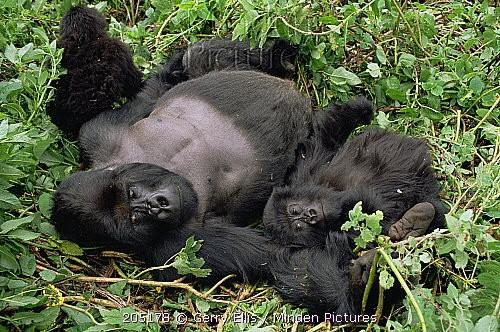 Gorille des montagnes.jpg
